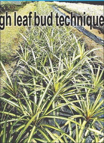 Pressreader The Philippine Star 2014 10 04 Pineapple