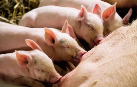 wie viele zitzen hat ein schwein
