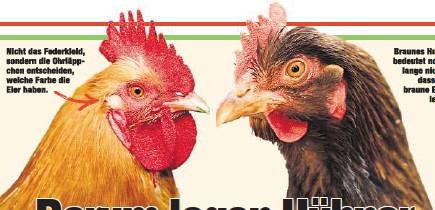 Hühner Ohrläppchen