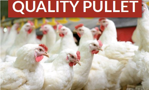 Pressreader The Poultry Bulletin 2017 04 06 Growing A